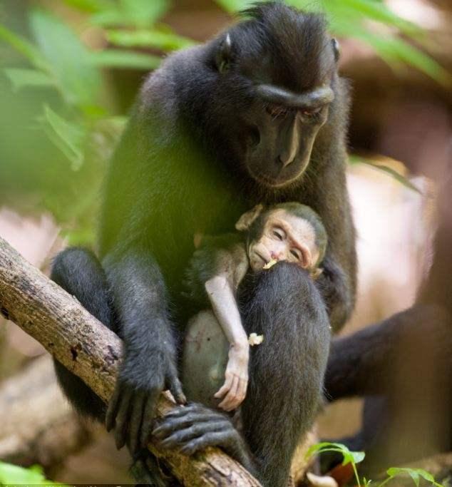 صور مؤثرة جداً ... قردة تحتضن ابنها الميت لعدة أيام