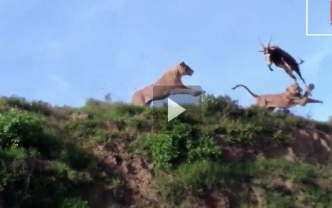 اسد يفترس غزال وهو يقفز بالهواء بالفيديو