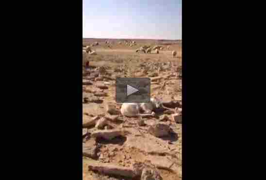 بالفيديو راع يرعب كلبه النائم وقت حراسة القطيع