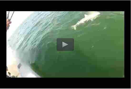 بالفيديو: سمكة ضخمة تلتهم قرشاً!!!