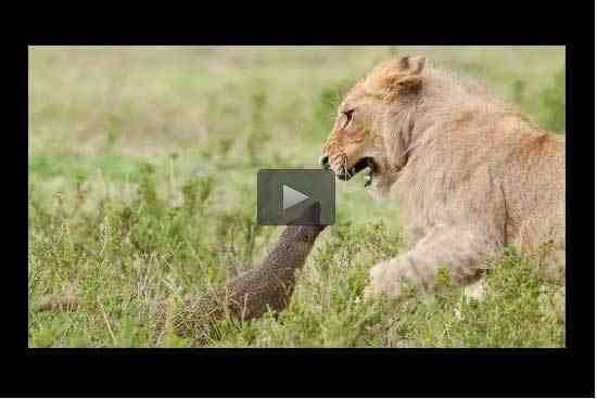 بالفيديو: نمس يواجه قطيع أسود