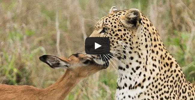 فيديو الفهد والظبي صداقة غريبة وتحدي لقوانين الطبيعة المألوفة