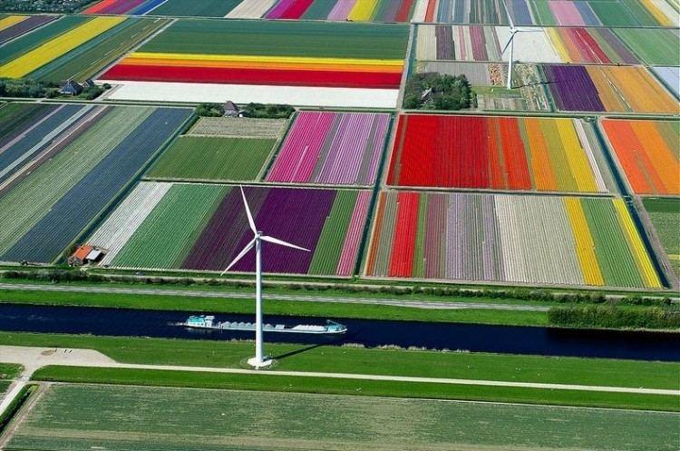 حقول الخزامى - هولندا