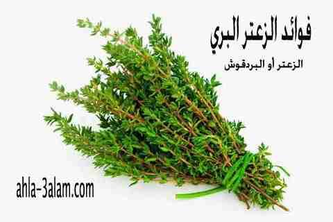 فوائد الزعتر الصحة للمناعة والجسم نبات البردقوش البري